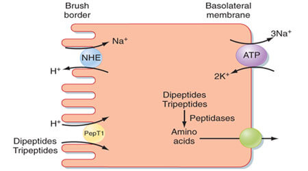 Absorption and Assimilation of Proteins- Biology Class 11 Online Notes