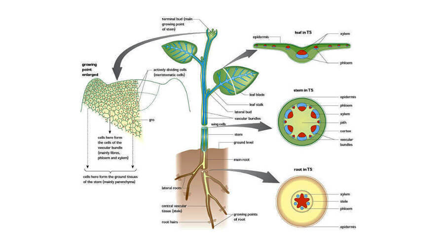 Class 10 Science - Chapter 1- Life processes - Transportation in plants