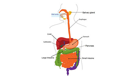 What are the basic steps of Digestion in humans? Class 7 Science