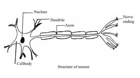 Nervous system and Its Function in Animals Class 10 Science