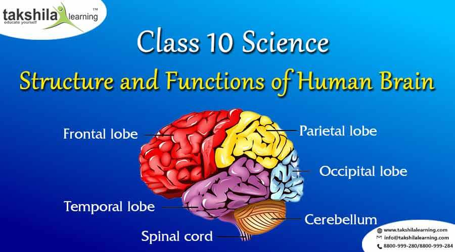 Structure and Functions of Human Brain, Human Brain, Brain, Control and Coordination, Class 10 Science