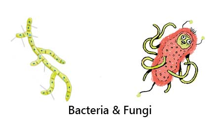 Microbes as Biofertilizers - CBSE NCERT Notes for Class 8 Science3
