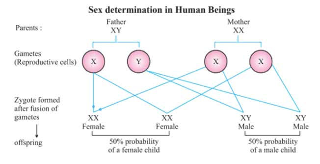Heredity and Evolution Part II - Sex Determination|Class 10 Science Notes