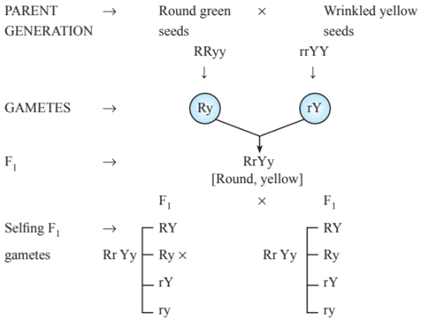 Heredity and Evolution, NCERT Class 10 Science Notes