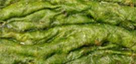 Algae and its types - NCERT Biology Class 11