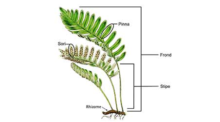 Characteristics of Pteridophytes / Pteridophytes / Reproduction in Pteridophytes / class 11 biology