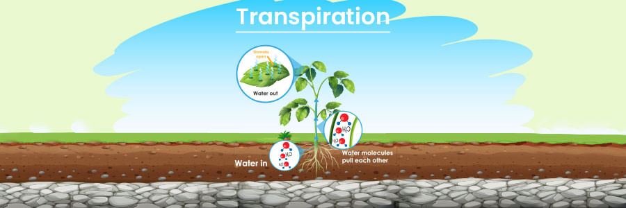 What is Transpiration in plants